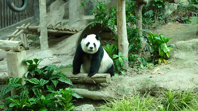 Hello, Lin Hui! Can I take you to the Philippines?! (Chiang Mai Zoo)