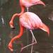 Flamingos vermelhos - Foto: Rê Sarmento