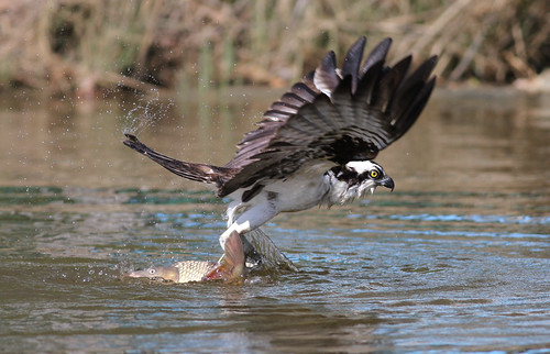 An Osprey with a Big Carp