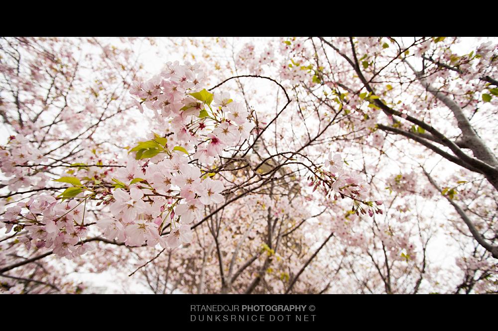 Cherry Blossom Festival, San Francisco.