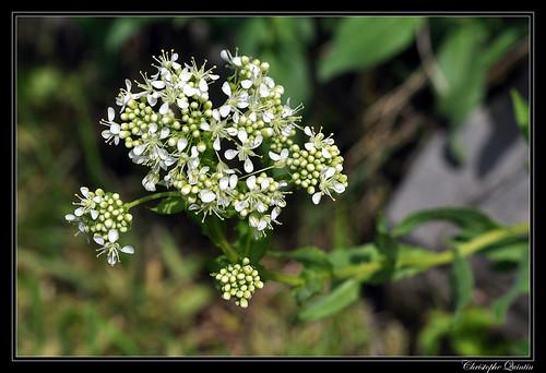 Passerage drave (Lepidium draba)