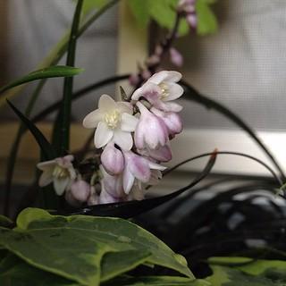 黒竜の花 咲いた
