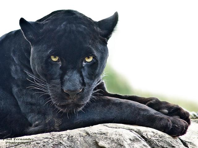 Black Jaguar Gazes at You at the Memphis Zoo