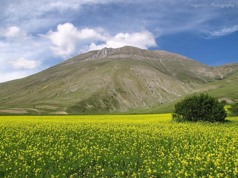 Fioritura 2012 lenticchie di Castalluccio (Norcia)_5594