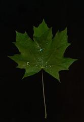 leaf, nature, macro photography, flora, green, maple leaf,