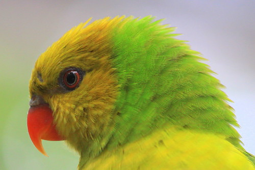 Rainbow Lorikeet (Olive-Headed) - Nashville Zoo