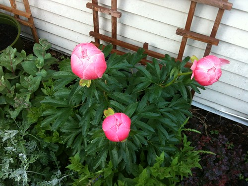Almost peonies...