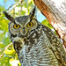 Great-horned Owl   4