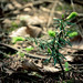 Small photo of Sapling (Abies alba)