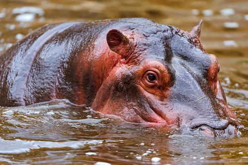無料写真素材, 動物 , 哺乳類, 河馬・カバ