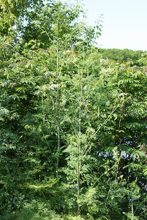 Poison Hemlock plants