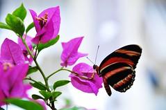 Butterfly 蝴蝶