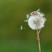 Micromouse on Dandelion by Sweetmart