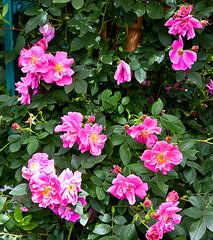 garden roses(0.0), rosa acicularis(0.0), rosa rugosa(0.0), rosa wichuraiana(1.0), annual plant(1.0), shrub(1.0), floribunda(1.0), flower(1.0), rosa gallica(1.0), plant(1.0), flora(1.0), petal(1.0),