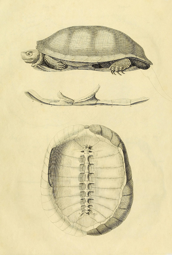 Turtle Anatomy 1821 The Public Domain Review