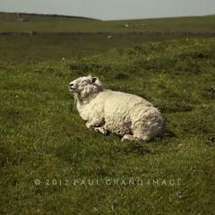 sheep sunning at Winnets Pass