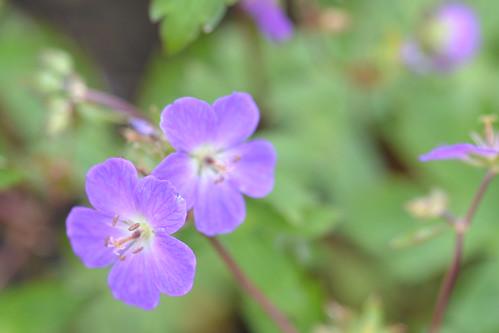 GERANIUM maculatum 'Spring Purple'