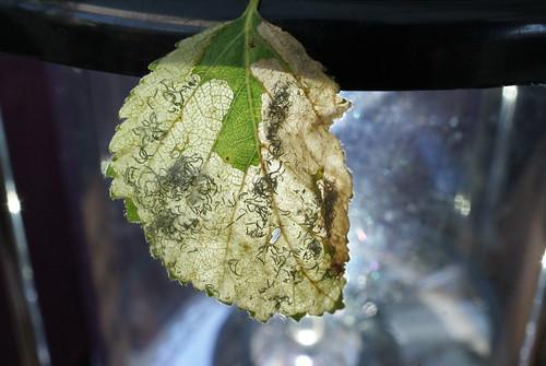Eriocrania cicatricella mine - 3 larvae were present