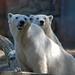 Drei Generationen Eisbären im Ouwehands Dierenpark