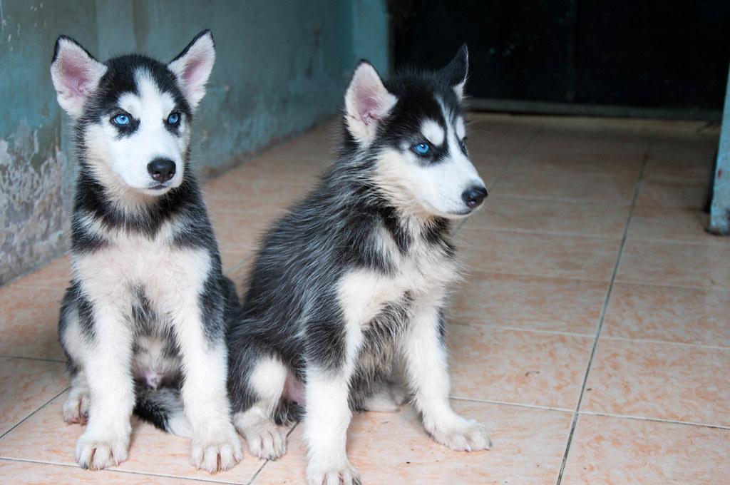 Bán chó Husky mắt xanh 6tr tuyệt đẹp - 3