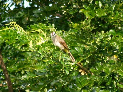 20120602_birdcountbulbul