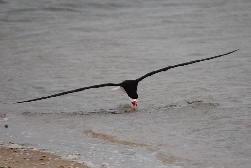 Водорез (Black Skimmer)
