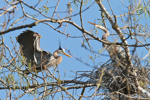 Great Blue Herons Nest Building - 04