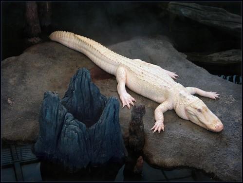 """Claude"" the rare white alligator has pink eyes."