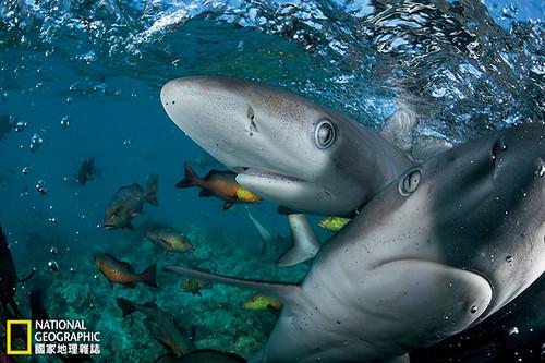 印度礁 潟湖裡的加拉巴哥幼鯊以鼻子碰觸相機。湯瑪斯.帕斯查克說,兩座環礁相對未受人類干擾的礁石是海洋生態的基準點。「在印度洋的其他地方,我看到的都是相對於這裡它們所缺少的東西。」攝影:Thomas P. Peschak;圖片提供:《國家地理》雜誌2014年4月號