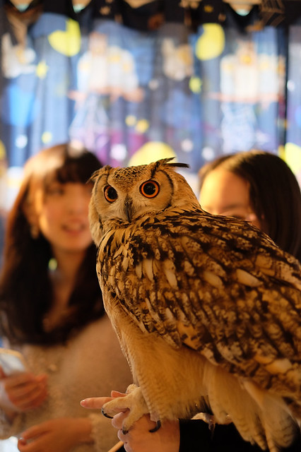 Horned owl at owl cafe