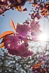 Cherry Blossom Flaire