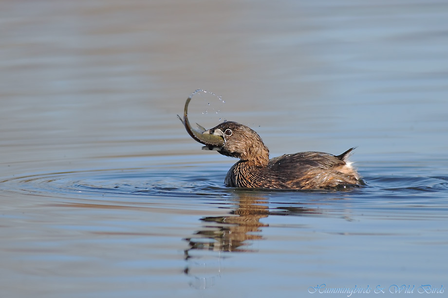Pied-billed Grebe 122511-8