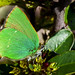 Green Hairstreaks - Photo (c) GBorrásG, some rights reserved (CC BY-NC-ND)