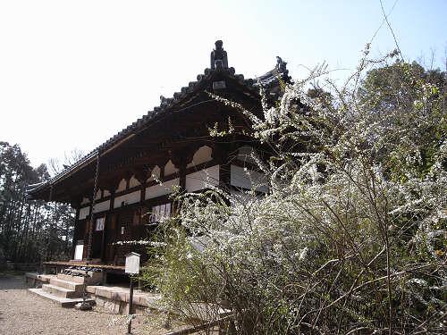 可憐な白い花「雪柳(ユキヤナギ)」@海龍王寺(奈良市)