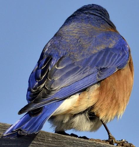 male bird feeder bluebird thrush songbird easternbluebird eabl