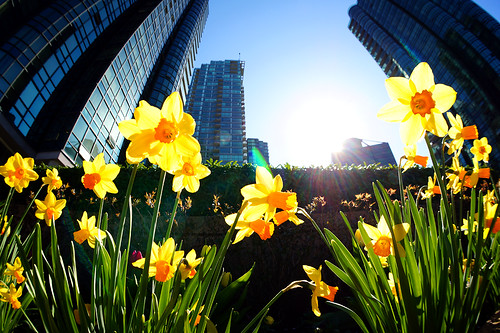 Daffodil Blossoms @ Coal Harbour