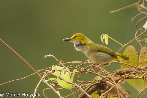 birds cameroon littoral oldworldwarblers fbwnewbird sanagariver camaropterasuperciliaris yellowbrowedcamaroptera