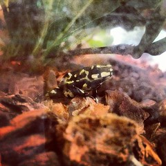 New Bumblebee Walking Toad!