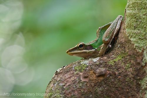 White lipped frog (Hylarana labialis)... IMG_3026 copy