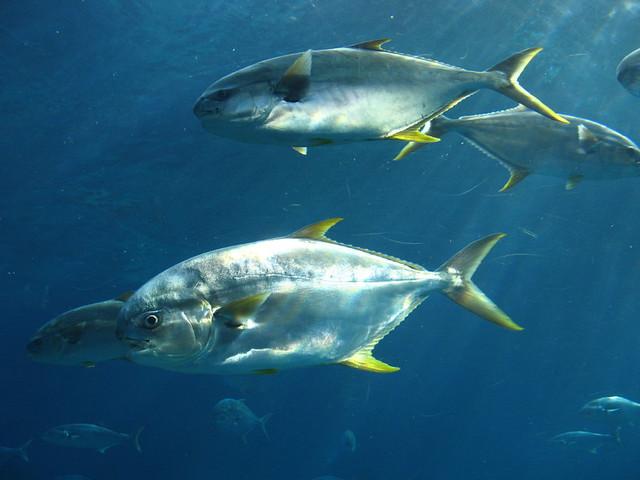 Eastern little tuna - photo#3