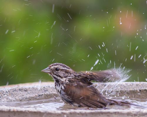 Song Sparrow Lovin' Life