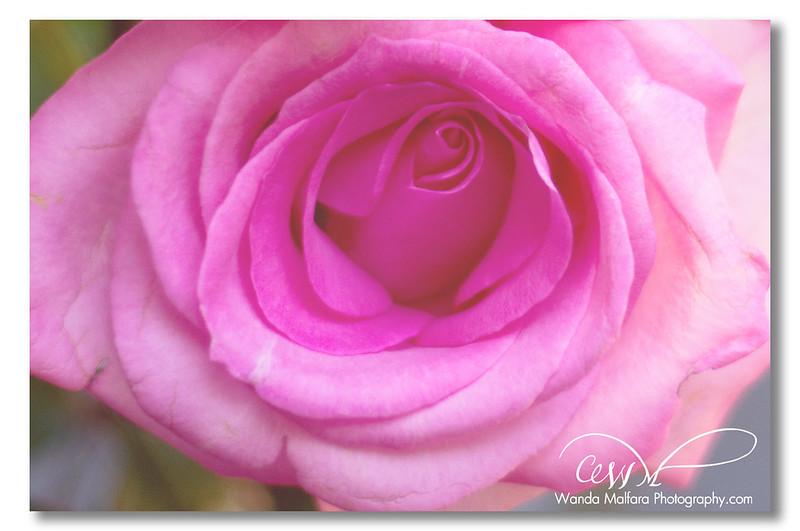 Roses - pink 012 wm