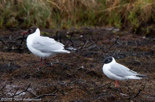 Adult (right) with an adult Black-headed Gull.