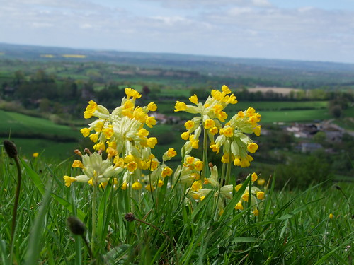 Cowslips by Linda Yarrow