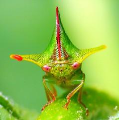 Treehoppers of Ecuador