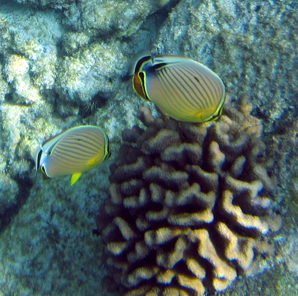 Oval butterflyfish - photo#10
