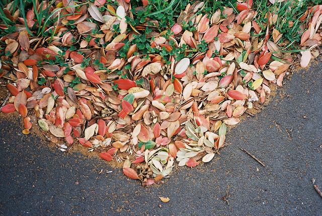 pohutukawa_leaves