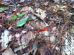 Fire Newt