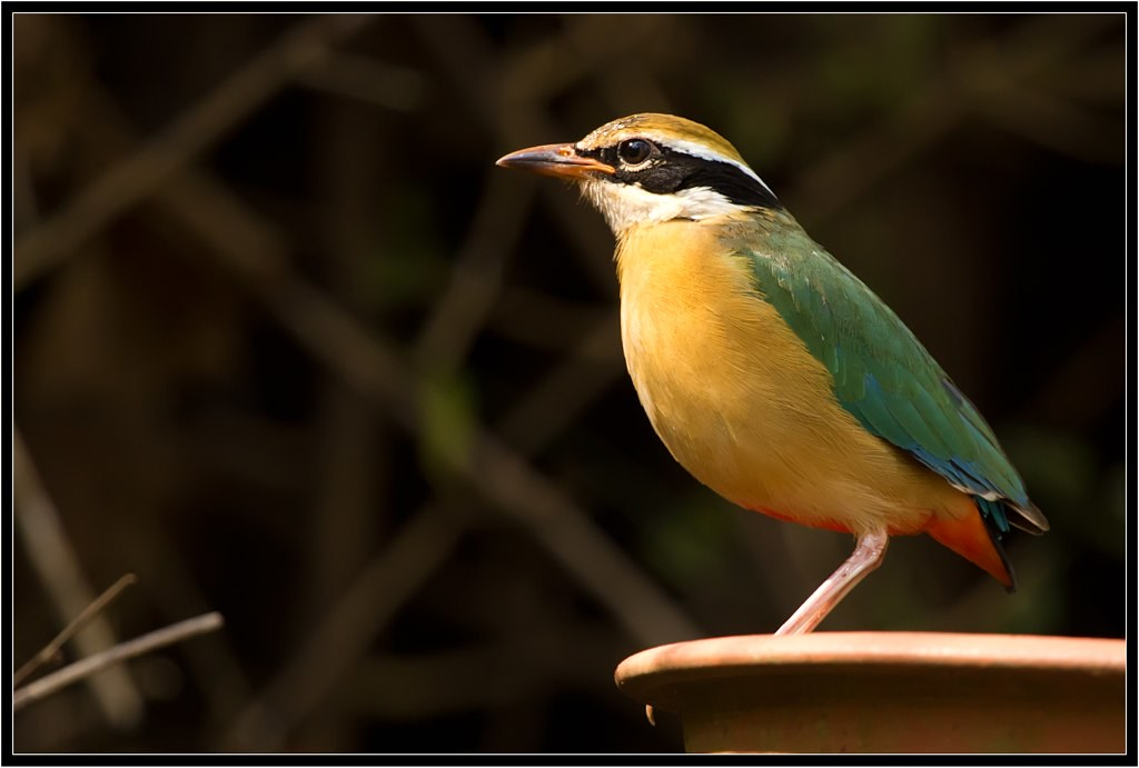 Indian Pitta Series