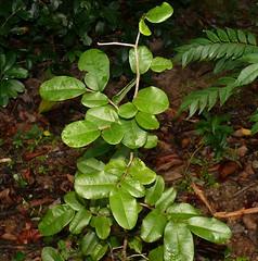 Fitzalania heteropetala and green triangle butterfly